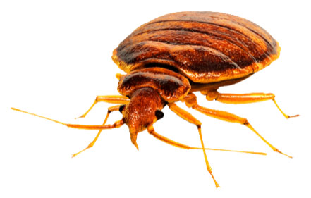 bed bug treatment info