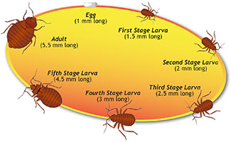 The bed bug life cycle: bedbug egg-first bed bug instar-second stage bed bug larva-third stage bedbug instar-fourth stage larva-fifth stage larva-adult bed bug