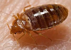 People often act irrationally when they discover they have bed bugs.