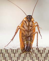 heat treatments for cockroaches will kill 100% of the insects and their eggs.