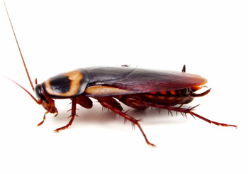 organic cockroach pest control